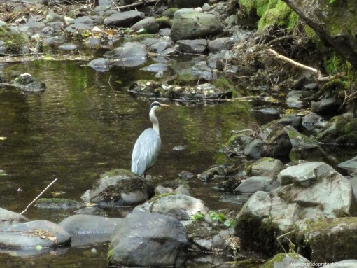 A Grey Heron on the Shimna River. It wasn't terribly concerned about me and let me snap a few photos while it walked around looking for trout.