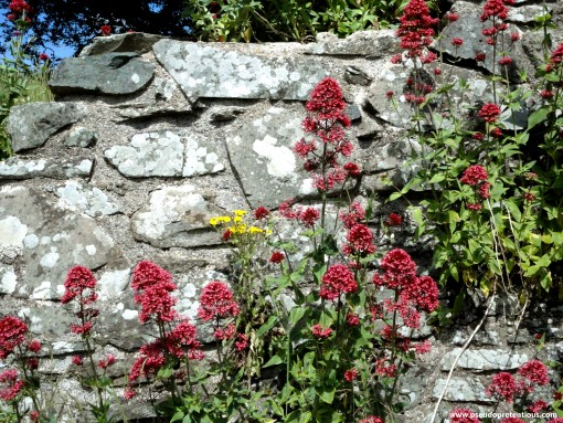 More wallflowers, these are at the top of the curtain wall surrounding the keep.