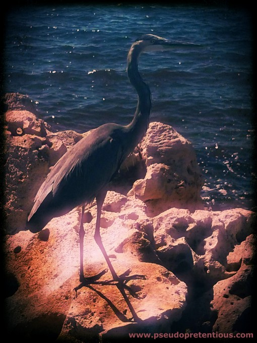 heron on the rocks at keaton beach florida