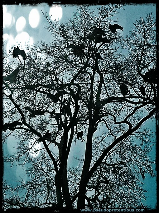 vultures in a dead oak tree
